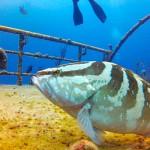 Grouper-Wreck