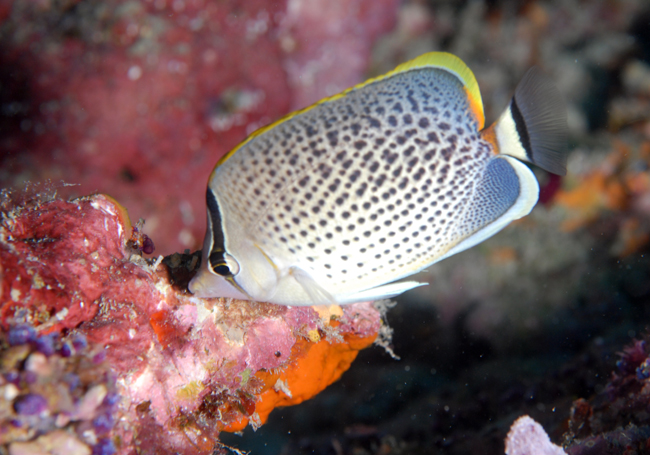 butterfly-fish-1-day-3-DSC_2653