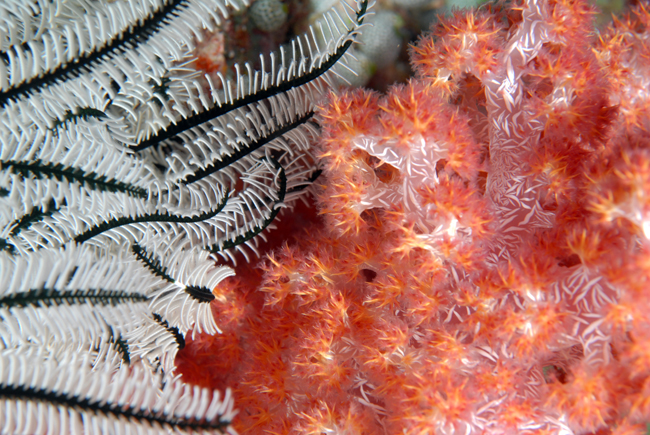 crinoid-and-soft-coral-DSC_3033