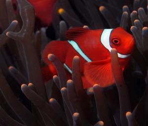 clownfish-1-DSC_0091
