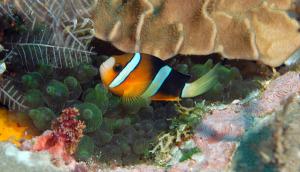 clownfish-DSC_0151