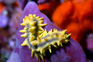nudibranch-DSC_0186